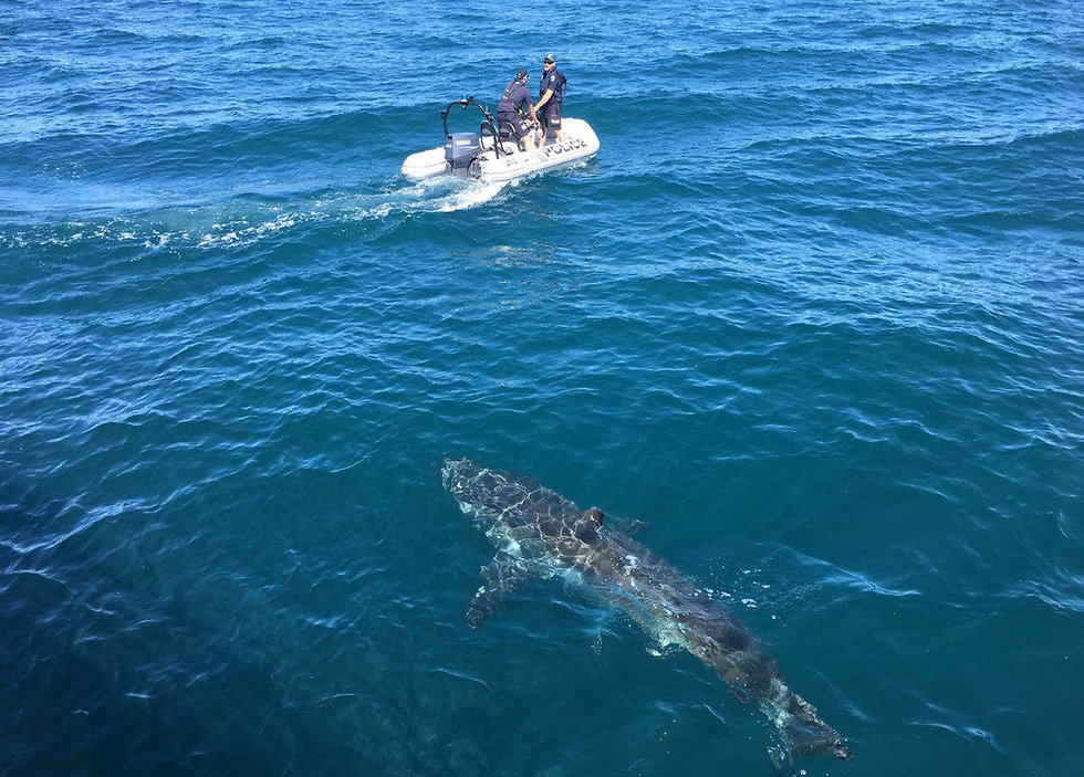 כרישים באוסטרליה (צילום: רויטרס)