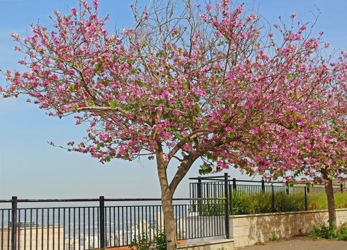 Орхидное дерево в Израиле. Фото: shutterstock