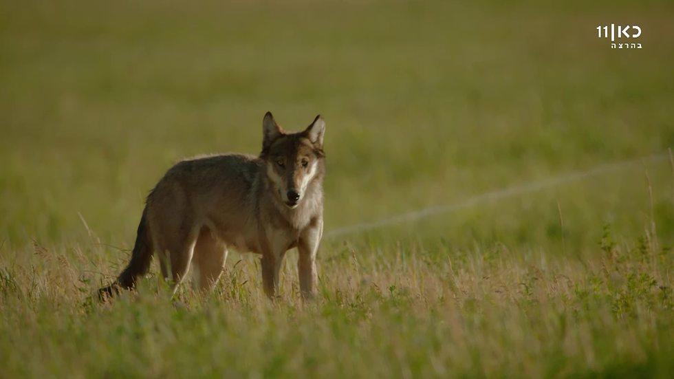 זאב בילוסטון (צילום: BBC  | ילוסטון - אקלים פראי | | באדיבות כאן 1)