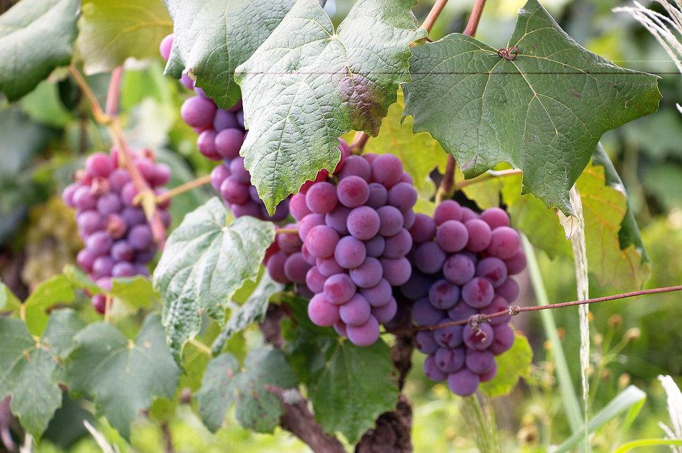 ספרד כרמים יין אלכוהול (צילום: יח