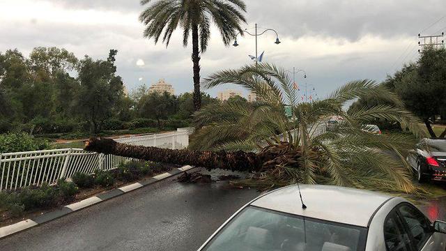 עץ קרס בראשון לציון (צילום: ויטלי זילברגליט)