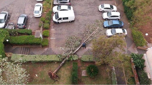 עץ קרס בחיפה (צילום: עודד אשור)