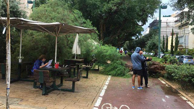 עץ קרס בשדרות בן גוריון בתל אביב (צילום: אילן גבאי)