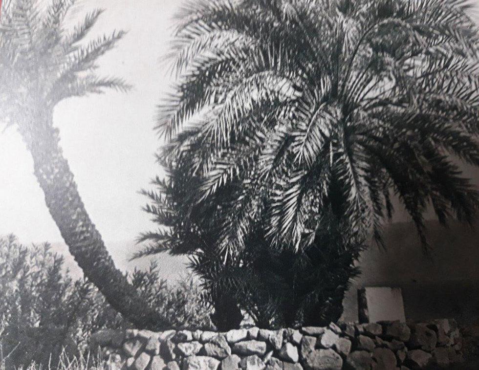 דקל קרס בסערה במועצה אזורית בקעת הירדן (צילום: ארכיון כינרת)
