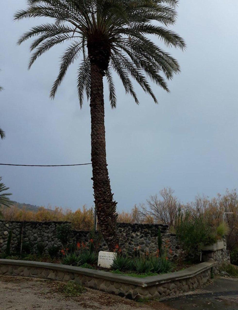 דקל קרס בסערה במועצה אזורית בקעת הירדן ()
