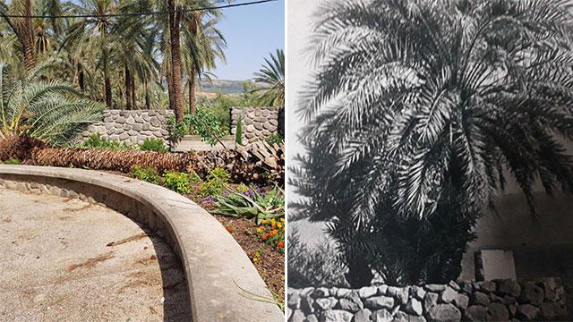 Пальма поэтессы Рахель. Фото справа сделано в 30-х годах