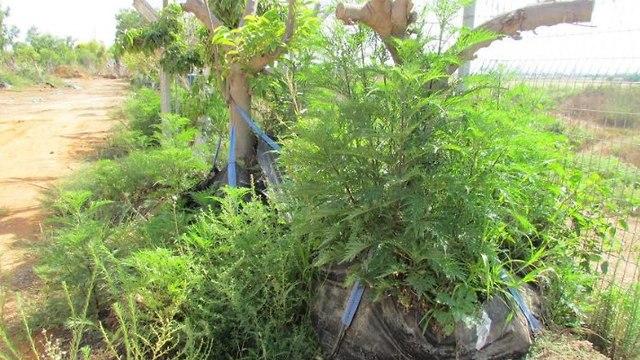 אמברוסיה מכונסת (צילום יוני רז, רשות נחל ירקון)