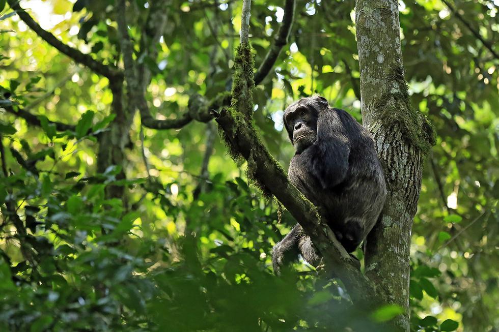 שימפנזים (צילום: shutterstock)