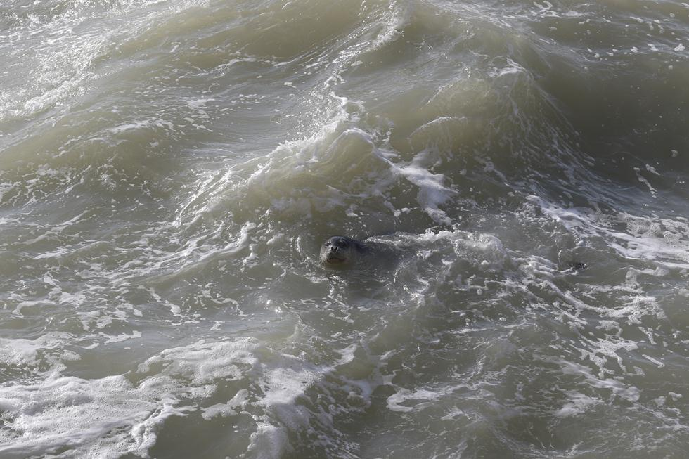 כלבת ים בראש הנקרה (צילום: ד״ר עוז גופמן, מנהל פרויקט הדולפינים במכון ללימודי ים ע״ש רקנטי, מחמל'י אוניברסיטת חיפה)