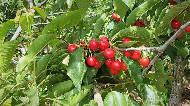 קטיף פירות (צילום: מרקוס גלנטה)