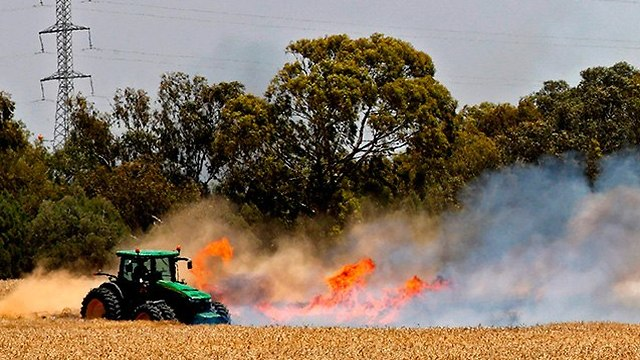 Kites terror causes entire wheat field to be destroyed  (Photo: AFP)