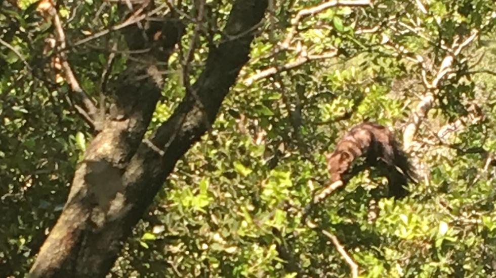דלק סלעים על עץ בגליל (צילום: חן פרדוביץ')