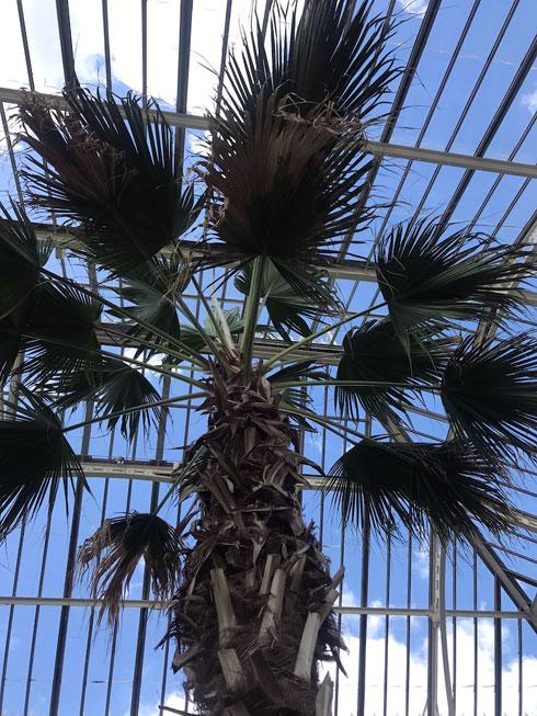 עץ הליוויסטוניה, אחד  הצמחים שהושארו בחממה בזמן השיפוץ, נעטף ב׳מעיל׳ לחמש שנים שרק ״הראש״ הציץ החוצה כדי לקלוט קצת שמש (צילום: הילה שמר)