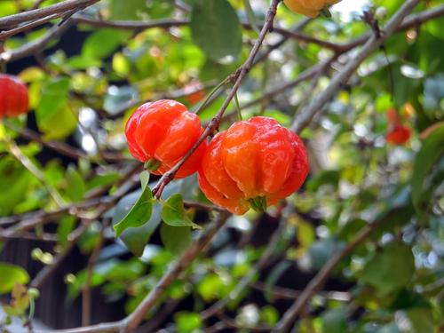Суринамская вишня питанга. Фото: shutterstock