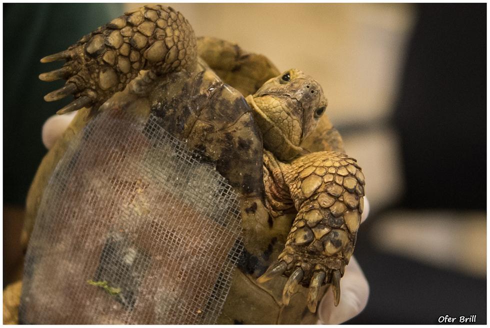 צב יבשה בבית חולים לחיות בר בספארי ברמת גן (צילום: עופר בריל)