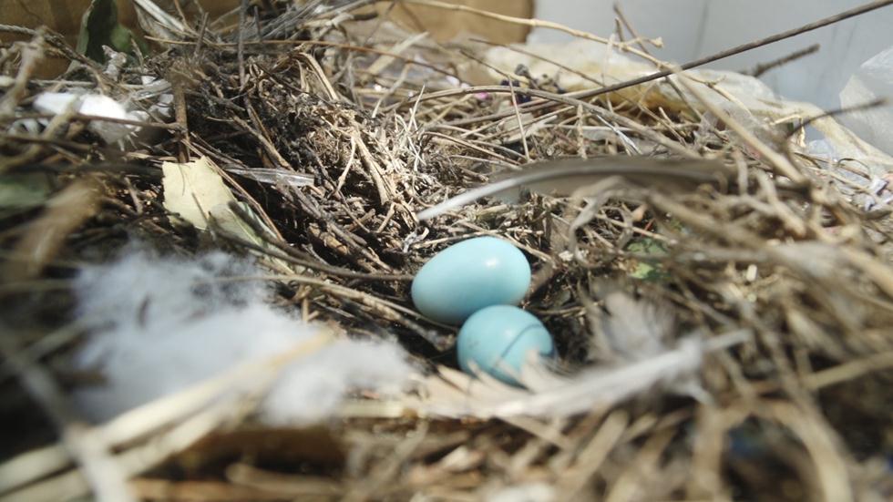 ביצי מאינות (צילום: ארז ארליכמן)
