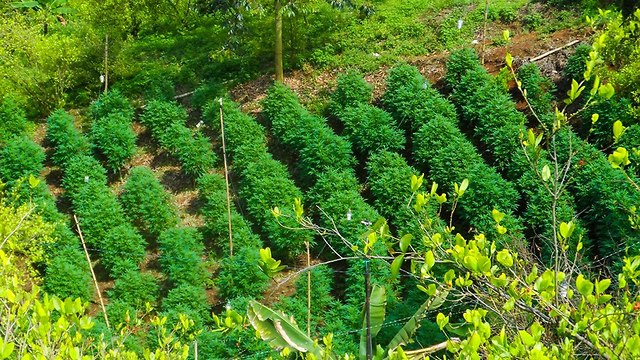Cannabis farm in Colombia
