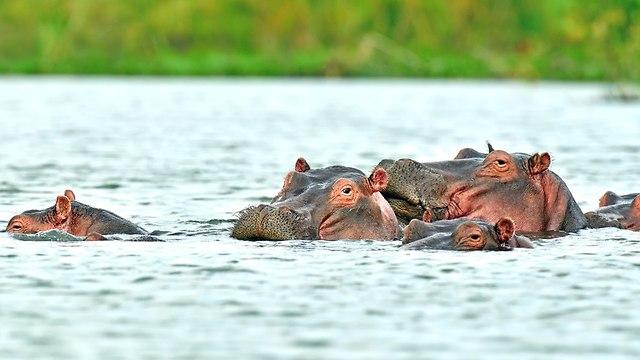 היפופוטמיםם בנהר מארה (צילום: shuttertock)