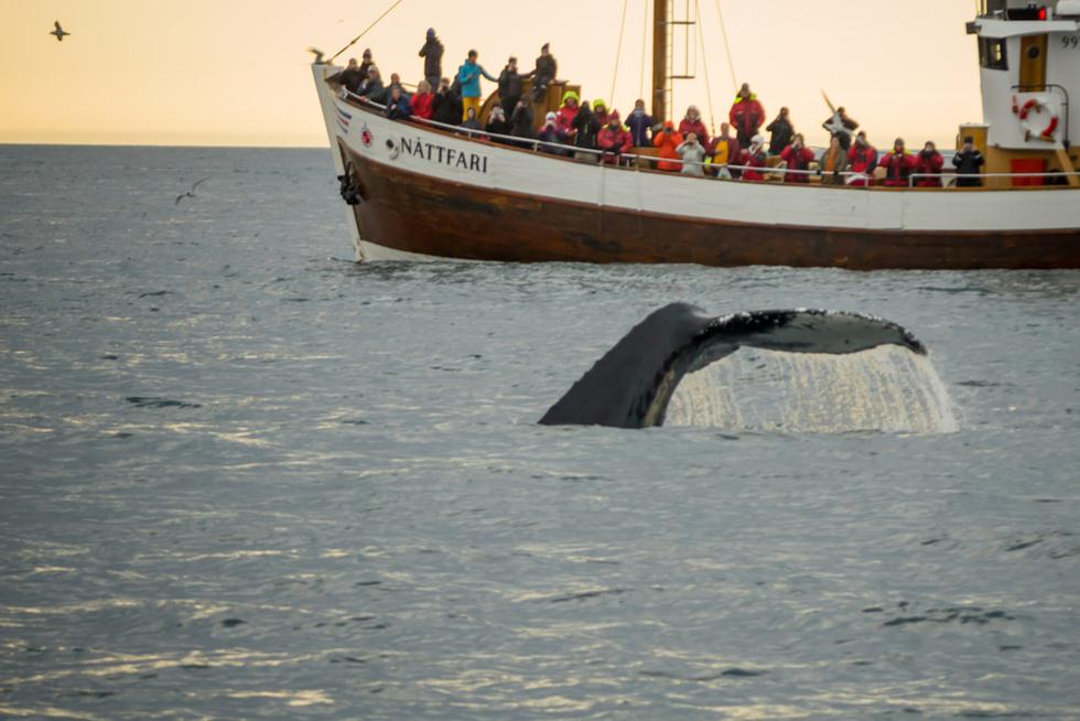 תיירים צופים בלוויתנים באיסלנד (צילום: shutterstock)