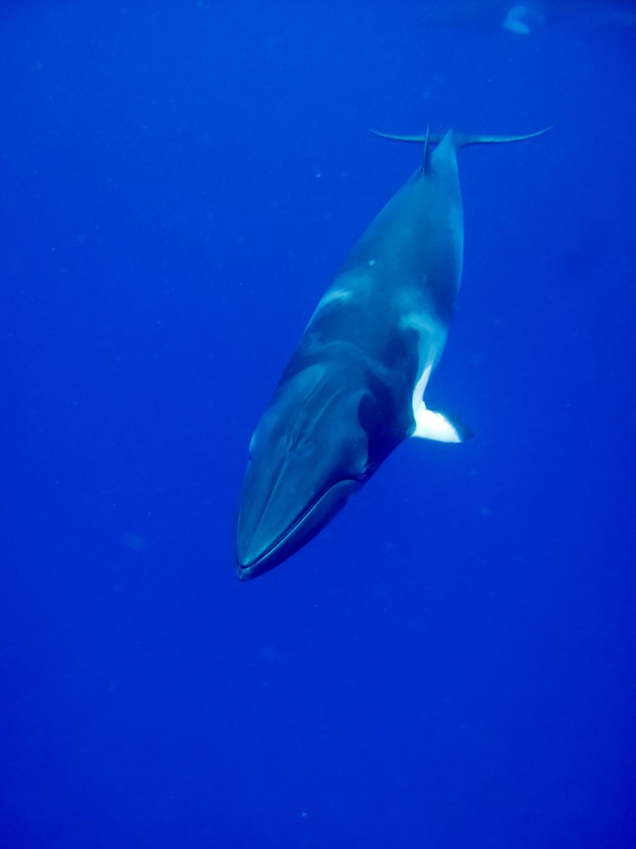 לוויתן מינקי (גוץ) (צילום: shutterstock)