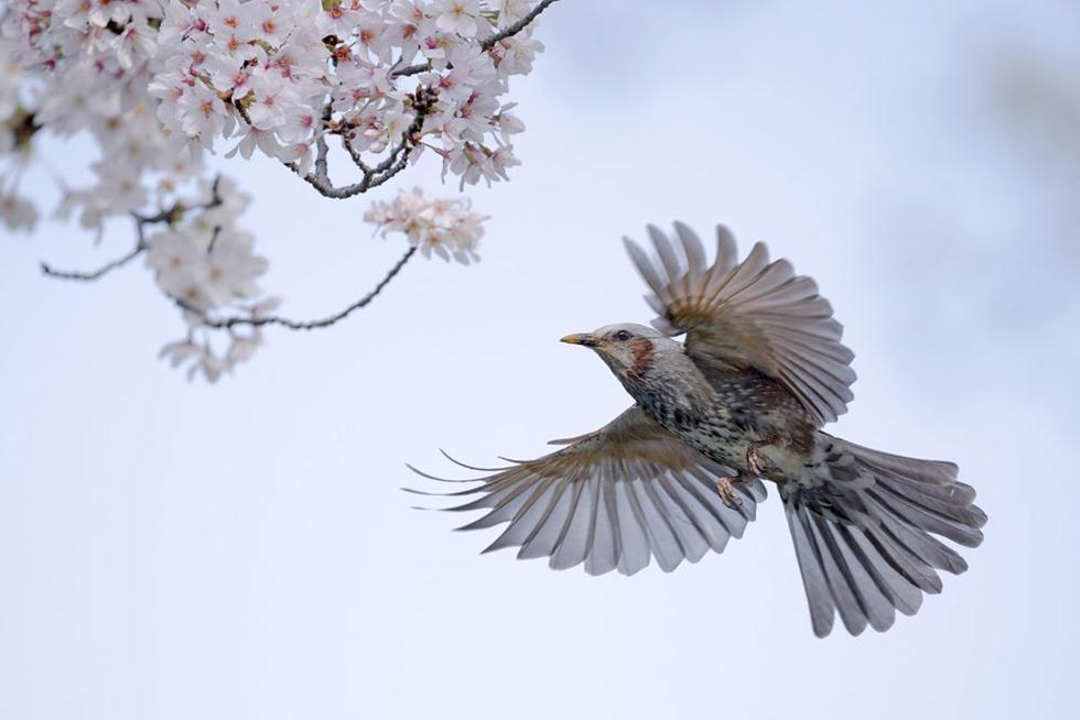 בולבול חום אוזן ביפן (צילום: shutterstock)