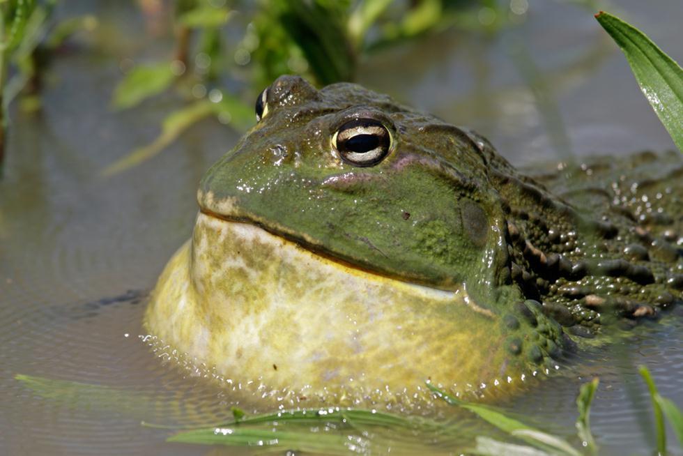 צפרדע השור האפריקנית (צילום: shutterstock)