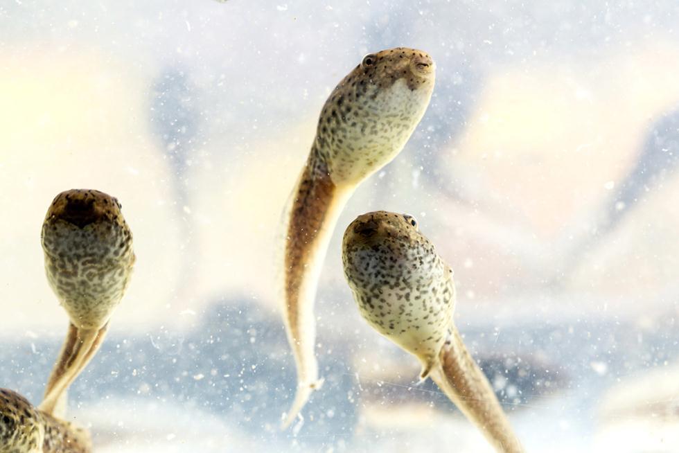 ראשנים של צפרדע השור האפריקנית (צילום: shutterstock)