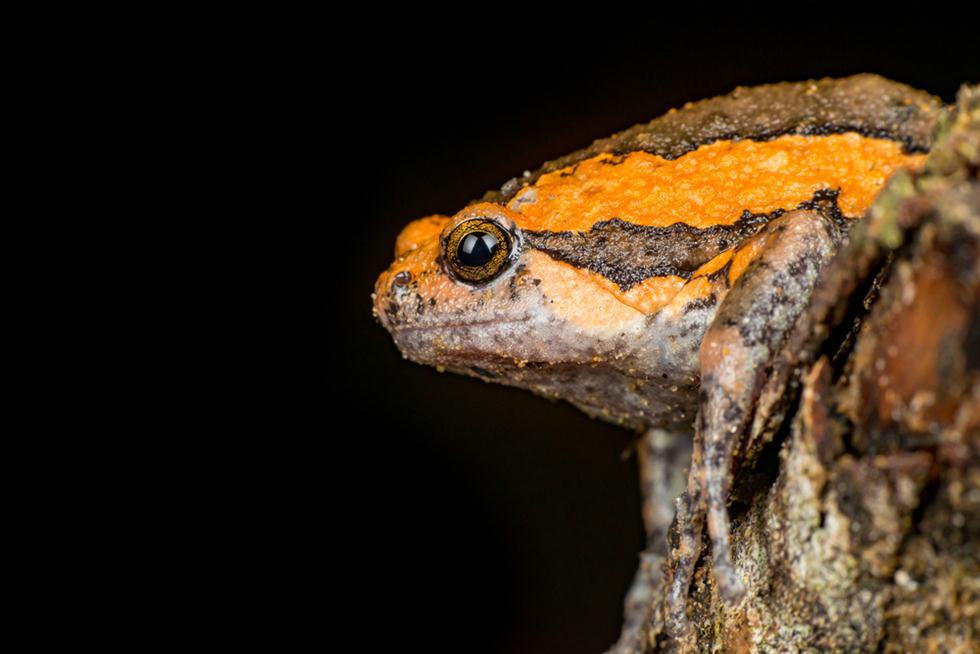 צפרדע זעירה בגינאה  (צילום: shutterstock)