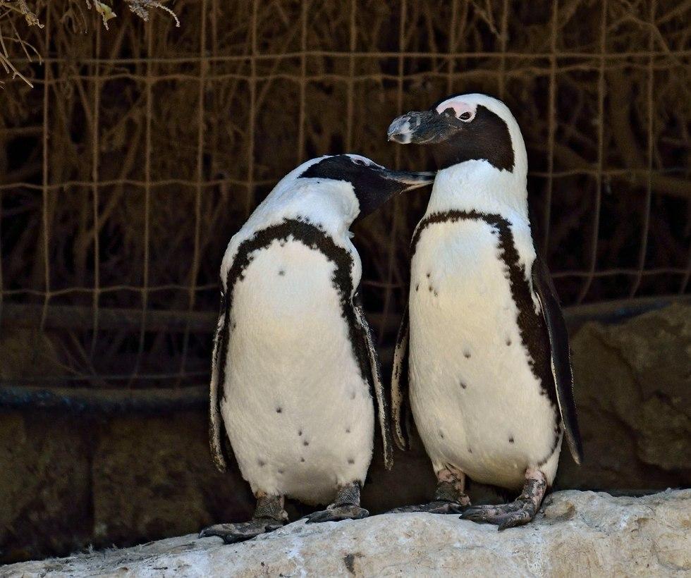 פינגווינים בספארי ר