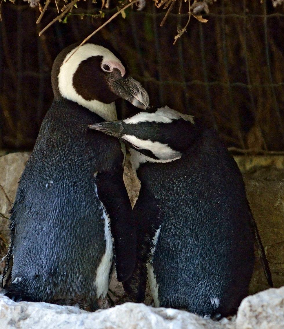 שבוע גאווה פינגווינים ספארי ר