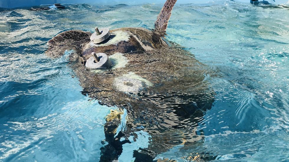 צב ים במרכז הצלת צבי ים במכמורת (צילום: יניב לוי, רשות הטבע והגנים)