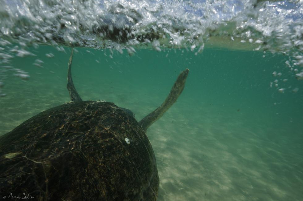 צב ים בחוף אולגה (צילום: נועם לדין)