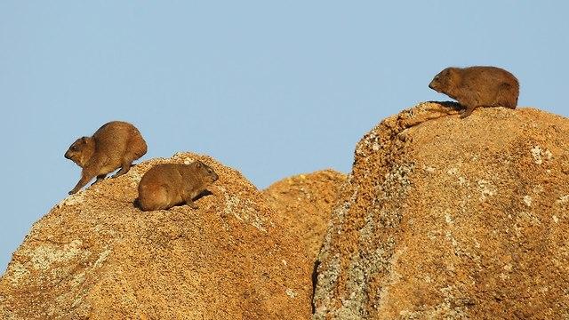 שפני סלע (צילום: gettyimages)
