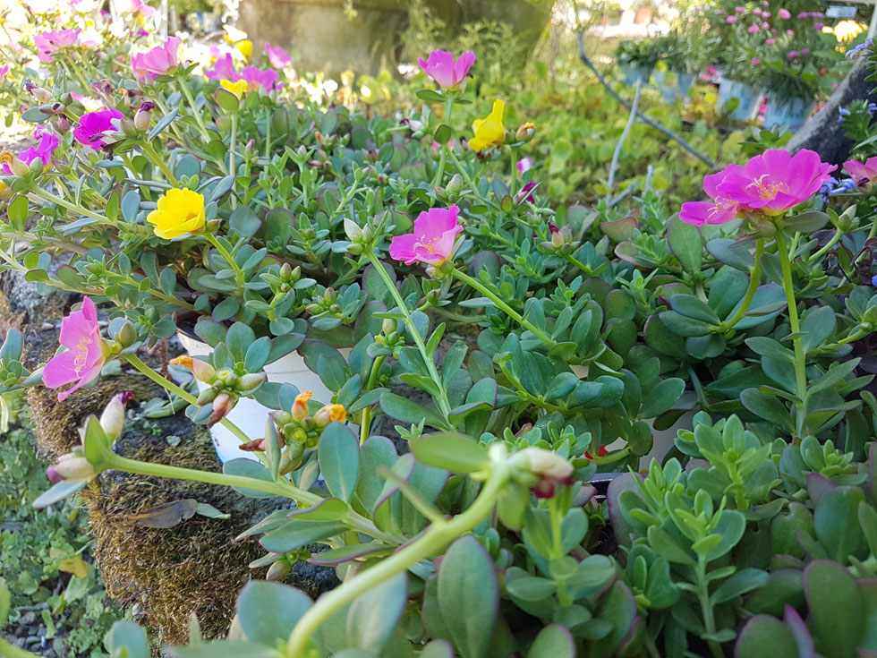 תוכלו למצוא צמחים קשוחים בהחלט, אך גם יפים, שמסוגלים לעמוד בחום הישראלי בהשקייה מינימאלית וגם להעניק לנו מופעי צמיחה ופריחה מרהיבים, כמו הפורטולקה רב שנתית  (צילום: באדיבות משתלות יגור)