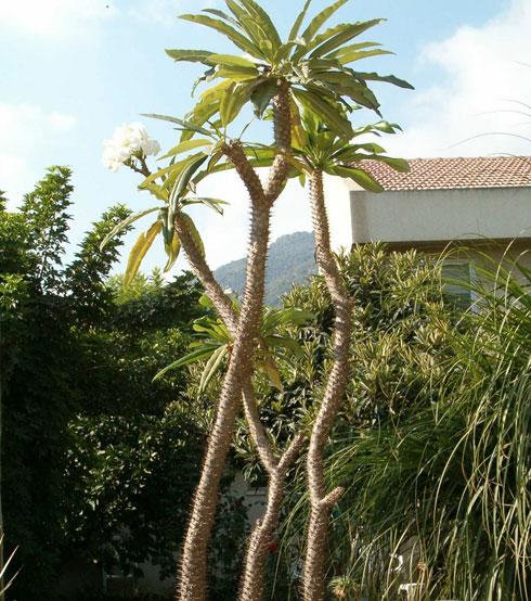 צמח פיסולי דמוי קקטוס. עב גזע הרדופי   (צילום: באדיבות משתלות יגור)