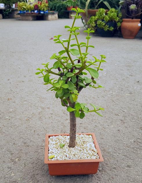 צמח חסון המתאים למרפסות מוצלות או מוצלות למחצה. רגלנית אפריקנית  (צילום: באדיבות משתלות יגור)