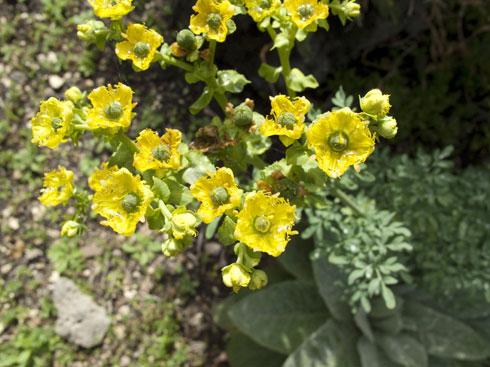 צמח תבלין ומרפא נפלא המושך אליו את אחד הפרפרים היפים ביותר. פיגם מצוי   (צילום: Shutterstock)