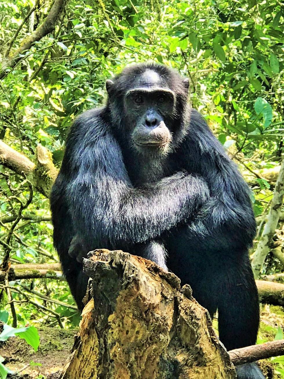 שימפנזה מסוג אלפא ועוד דברים שמוצאים ביערות הגשם של אוגנדה  (צילום: מאגמה)