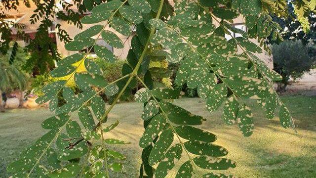 נזק לצמחיה במושב גיאה בדרום בעקבות מטוס שפיזר חומר רעיל ()
