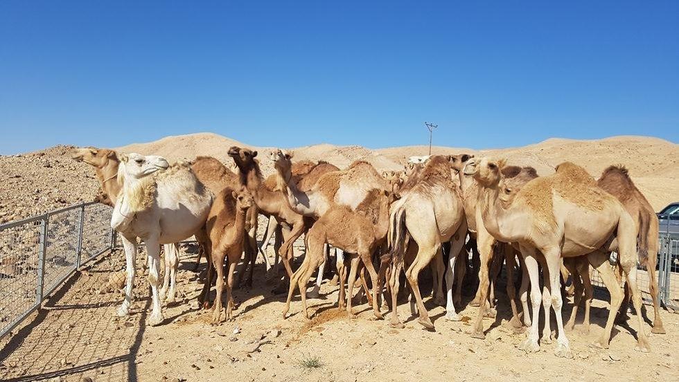 גמלים משוטטים שהוחרמו בנגב (צילום: משרד החקלאות)