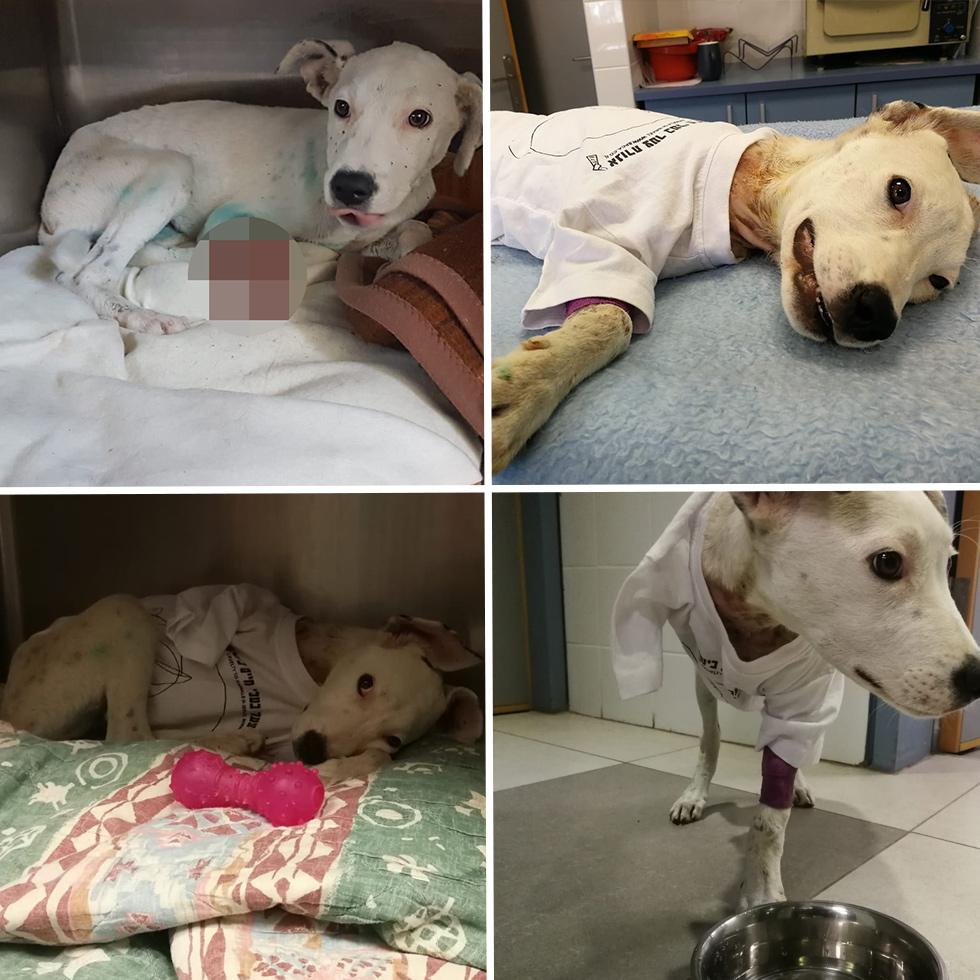 לינדה הכלבה לפני ואחרי קטיעת הרגל (צילום: צער בעלי חיים בישראל - ת