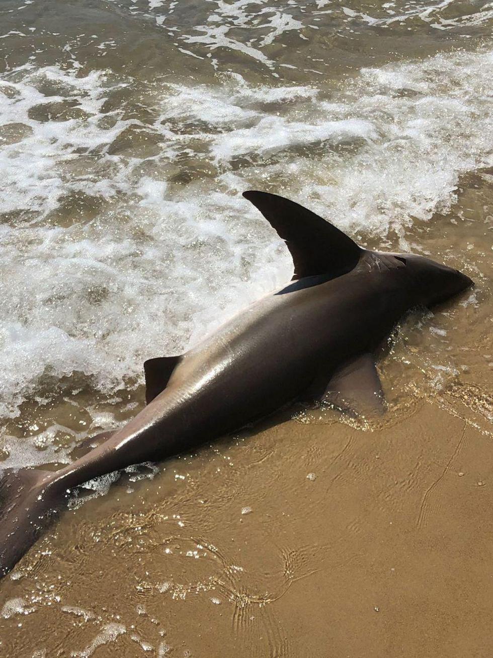Акула на берегу пляжа в Нетании. Фото: Янив Пардо