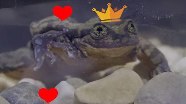 רומיאו צפרדע מים (צילום: יוטיוב)