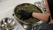 Medical cannabis (Photo: AP)