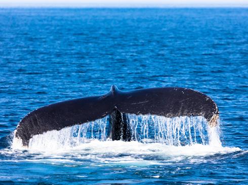 לפעמים רואים קצה זנב, לפעמים לווייתן שלם. אבל מתרגשים תמיד (צילום: Shutterstock)