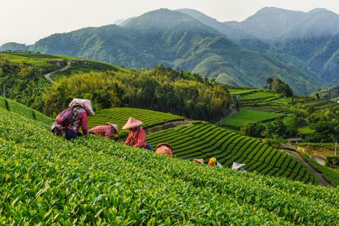 שדות התה יוצרים מרחבים ירוקים עוצרי נשימה (צילום: Shutterstock)