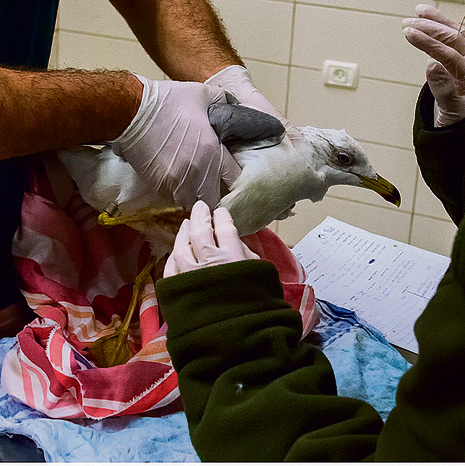 A wounded seagull