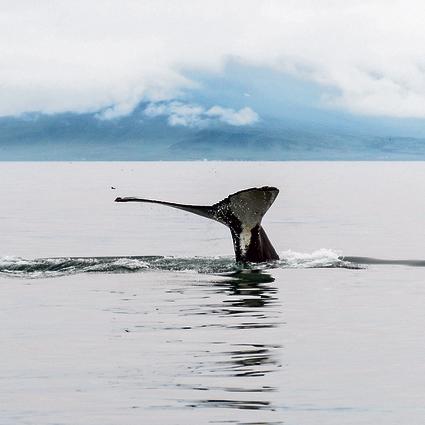 לווייתן מול חופי הבירה רייקיאוויק