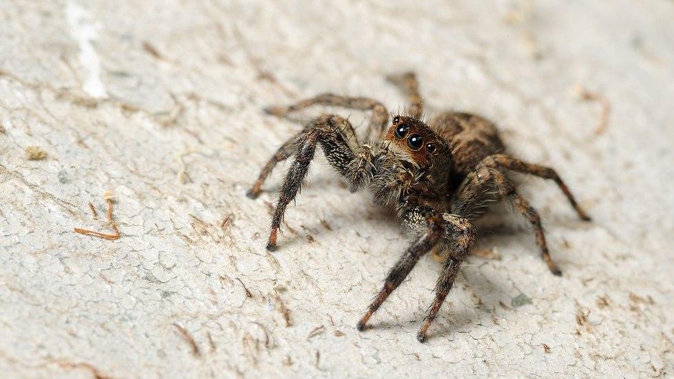 עכביש קופצן (צילום: shutterstock)