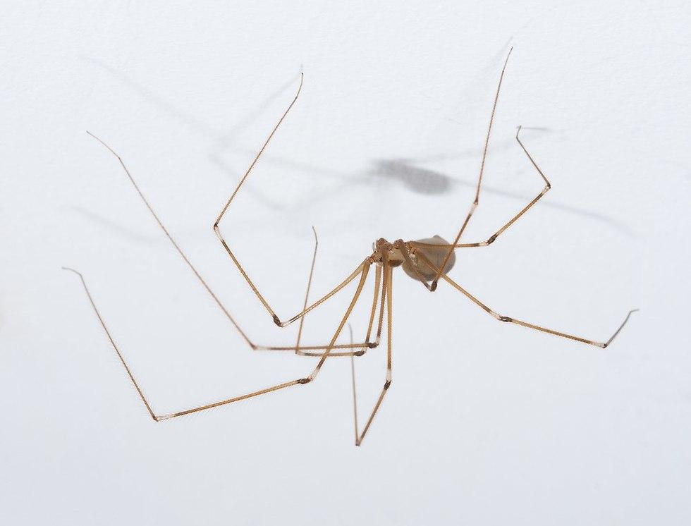 עכביש מרעידן (צילום: shutterstock)